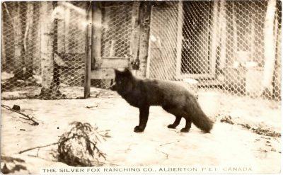 , The Silver Fox Ranching Co., Alberton, P.E.I. Canada (0324), PEI Postcards