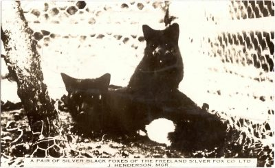 , A pair of silver black foxes of the Freeland Silver Fox Co Ltd., J; Henderson Mgr. (0326), PEI Postcards