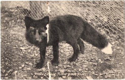 , Prince Edward Island Black Foxes. (0330), PEI Postcards