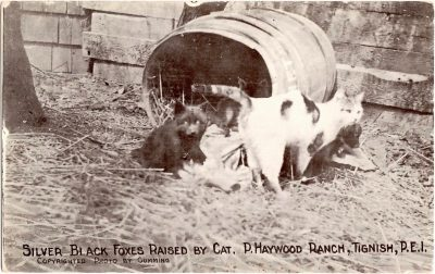 , Silver Black Foxes Raised by Cat. P Haywood Ranch, Tignish, P.E.I. Copyrighted photo by Cumming. (0332), PEI Postcards