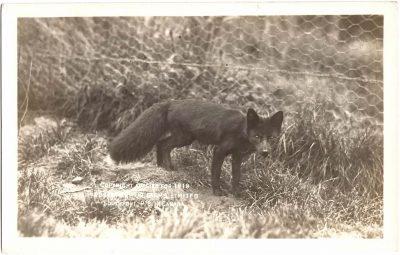 , Copyright applied for 1919. Rosebank Fur Farms Limited. Southport P.E.I. Canada. (0335), PEI Postcards