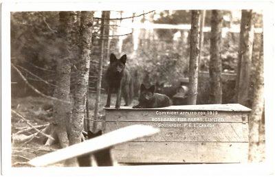 , Copyright applied for 1919. Rosebank Fur Farms, Limited. Southport, P.E.I. Canada. (0339), PEI Postcards