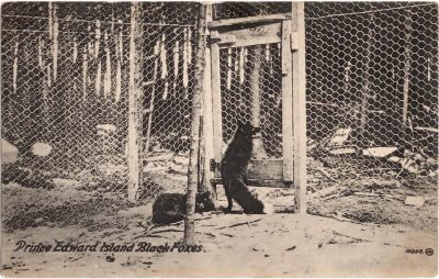 , Prince Edward Island Black Foxes (0306), PEI Postcards
