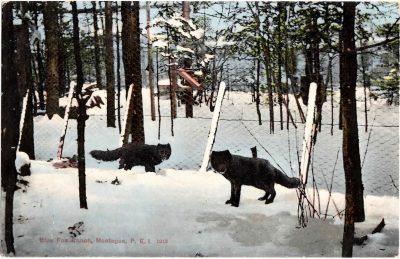 , Blue Fox Ranch, Montague, P.E.I. 1913 (0304), PEI Postcards