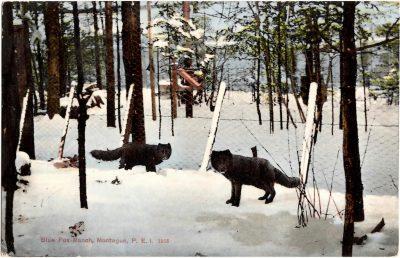 , Blue Fox Ranch, Montague, P.E.I. 1913 (0305), PEI Postcards