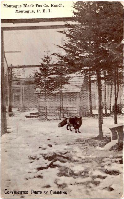 , Montague Black Fox Co. Ranch, Montague, P.E.I. Copyrighted Photo by Cumming (0307), PEI Postcards