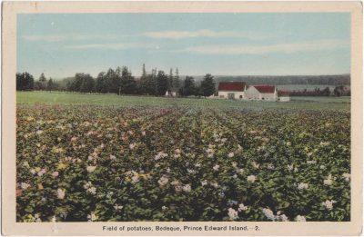 , Field of potatoes, Bedeque, Prince Edward Island. (0664), PEI Postcards