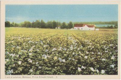 , Field of potatoes, Bedeque, Prince Edward Island (0670), PEI Postcards