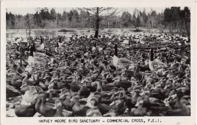 , Harvey Moore Bird Sanctuary, Commercial Cross, P.E.I. (0750), PEI Postcards