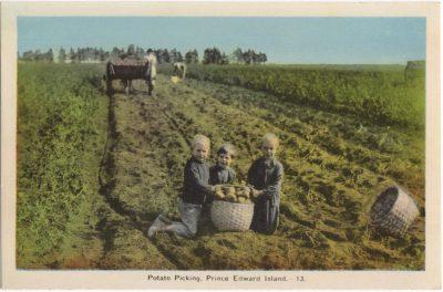 , Potato Picking, Prince Edward Island. (0790), PEI Postcards