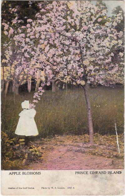 , Apple Blossoms Prince Edward Island (1074), PEI Postcards
