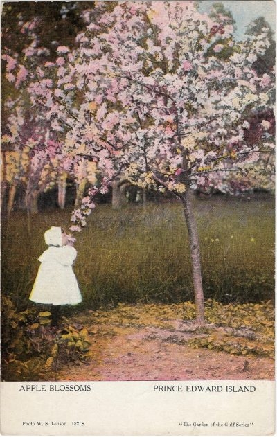 , Apple Blossoms (1209), PEI Postcards
