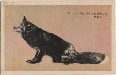 , Silver Fox, Prize Beauty, P.E.I. (1436), PEI Postcards