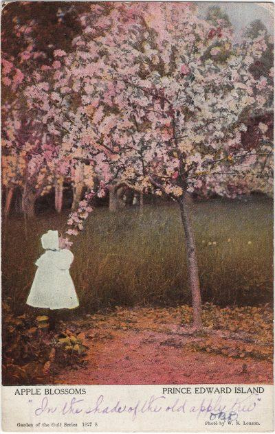 , Apple Blossoms, Prince Edward Island (1451), PEI Postcards
