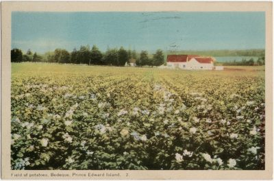 , Field of potatoes, Bedeque, Prince Edward Island. (1633), PEI Postcards