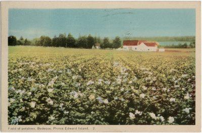 , Field of potatoes, Bedeque, Prince Edward Island. (1633), PEI Postcards