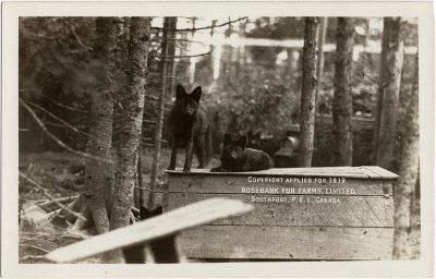 , Copyright applied for 1919. Rosebank Fur Farms, Limited. Southport, P.E.I., Canada. (1999), PEI Postcards