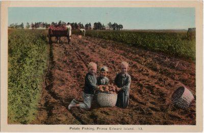 , Potato Picking, Prince Edward Island (2116), PEI Postcards