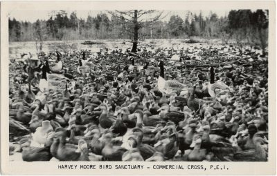 , Harvey Moore Bird Sanctuary – Commercial Cross, P.E.I. (2129), PEI Postcards