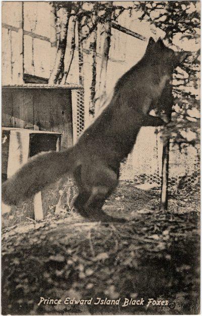 , Prince Edward Island Black Foxes (2327), PEI Postcards