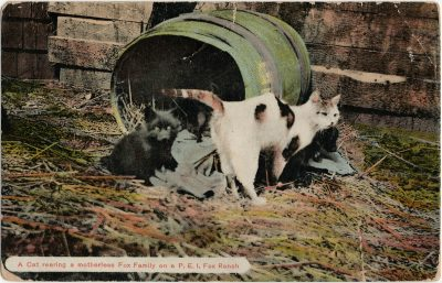 , A Cat rearing a motherless Fox Family on a P.E.I. Fox Ranch. (2787), PEI Postcards