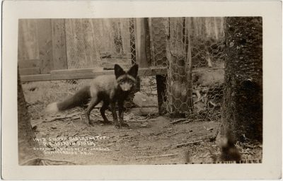 , 1913 Silver Black Fox Pup P.E. Island Stock Copyrighted 1913 by J.G. Jardine Summerside, PEI (2914), PEI Postcards