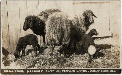 , Dr C.C. Young Karakule Sheep Co., Persian Lambs, Charlottetown, P.E.I. (2955), PEI Postcards