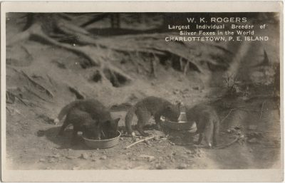 , W.K Rogers Largest Individual Breeder of Silver Foxes in the World Charlottetown, P.E.Island (2950), PEI Postcards