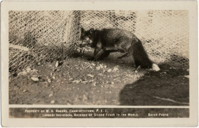 , Property of W.K Rogers, Charlottetown, P.E.I. Largest Individual Breeder of Silver Foxes in the     World. Bayer Photo. (2947), PEI Postcards
