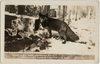 , Property of W.K Rogers, Charlottetown, P.E.I. Largest Individual Breeder of Silver Foxes in the     World. Bayer Photo. (2949), PEI Postcards