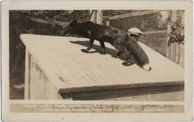 , Property of W.K. Rogers, Charlottetown, P.E.I. Largest Individual Breeder of Silver Foxes in the     World. Bayer Photo. (2941), PEI Postcards