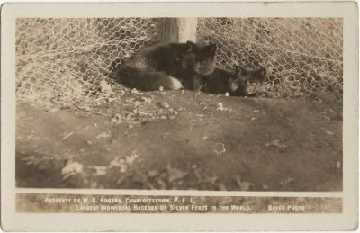 , Property of W.K. Rogers Charlottetown, P.E.I. Largest Individual Breeder of Silver Foxes in the     World. Bayer Photo. (2939), PEI Postcards