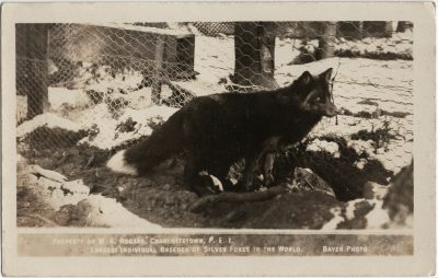 , Property of W.K Rogers, Charlottetown, P.E.I. Largest Individual Breeder of Silver Foxes in the     World. Bayer Photo. (2942), PEI Postcards