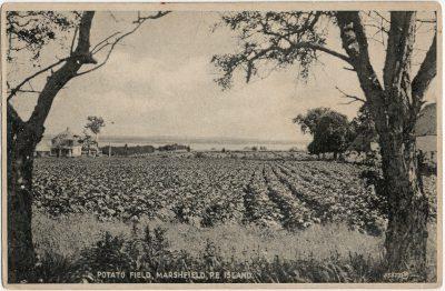 , Potato Field, Marshfield, P.E. Island (3042), PEI Postcards