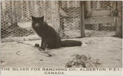 , The Silver Fox Ranching Co., Alberton, P.E.I. Canada (3121), PEI Postcards