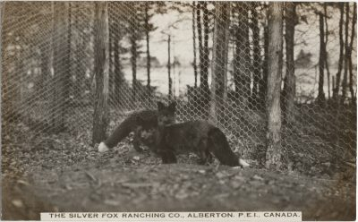 , The Silver Fox Ranching Co., Alberton, P.E.I. Canada. (3118), PEI Postcards