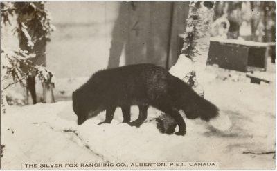 , The Silver Fox Ranching Co., Alberton P.E.I. Canada. (3119), PEI Postcards