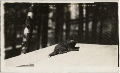, Baby Fox Taking Sun Bath Copyright J.R. Dinnis 1913 (3186), PEI Postcards