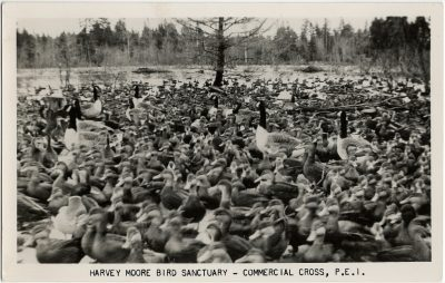 , Harvey Moore Bird Sanctuary – Commercial Cross, P.E.I. (3262), PEI Postcards
