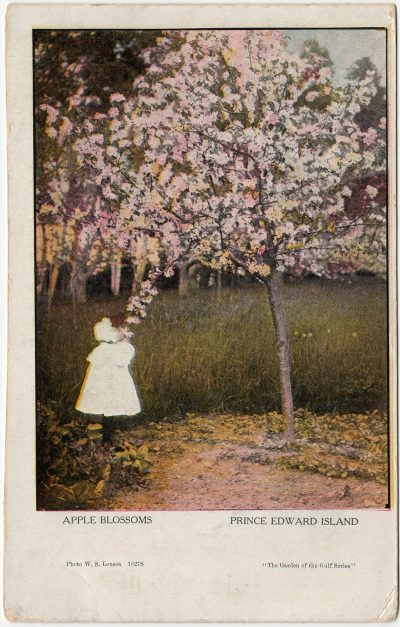 , Apple Blossoms Prince Edward Island {oversized card} (3280), PEI Postcards